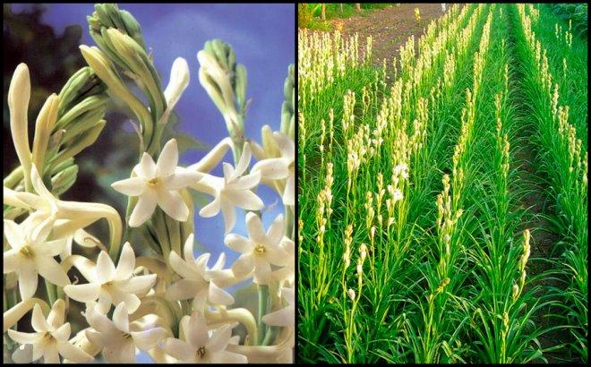 Цветы тубероза