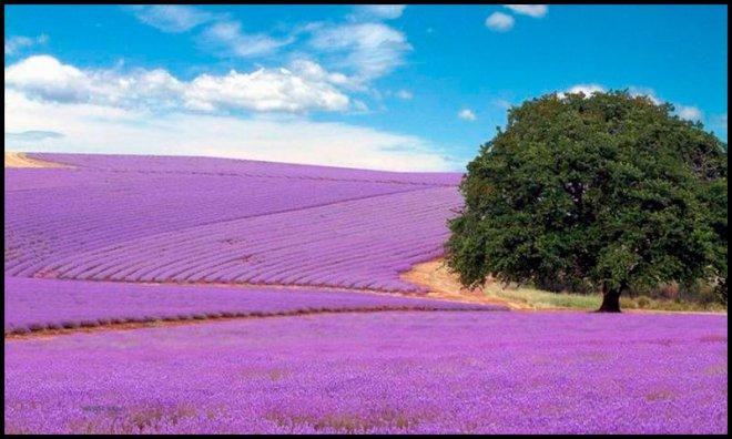 лавандовые поля для производства парфюмерии