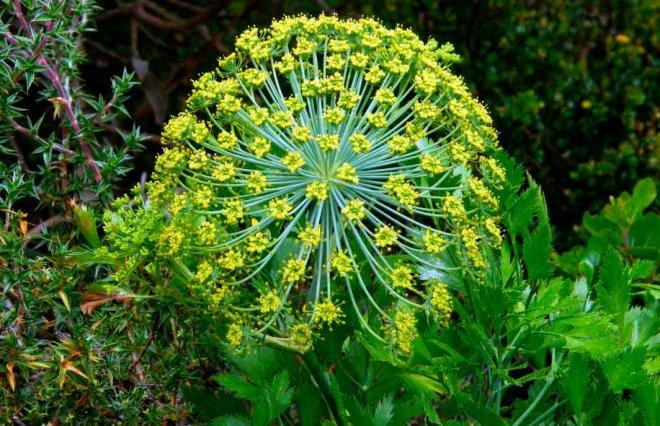 Гальбанум растение