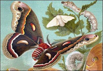 Бабочка Милитта и дикий шелк