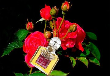 Царица цветов роза и парфюмерные ароматы