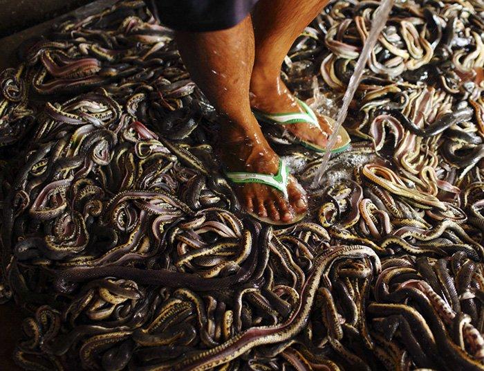 Змеи на фабрике в Индонезии