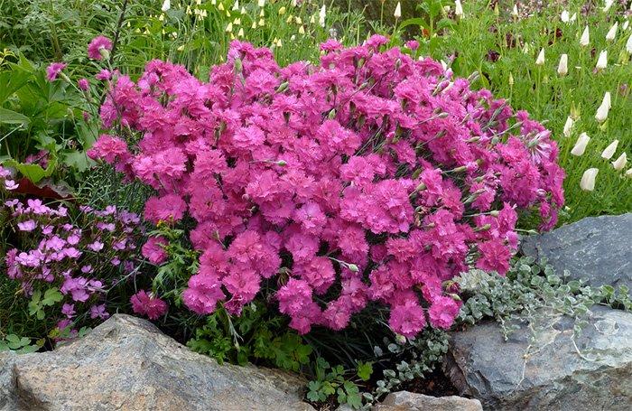 Гвоздика цветы фото