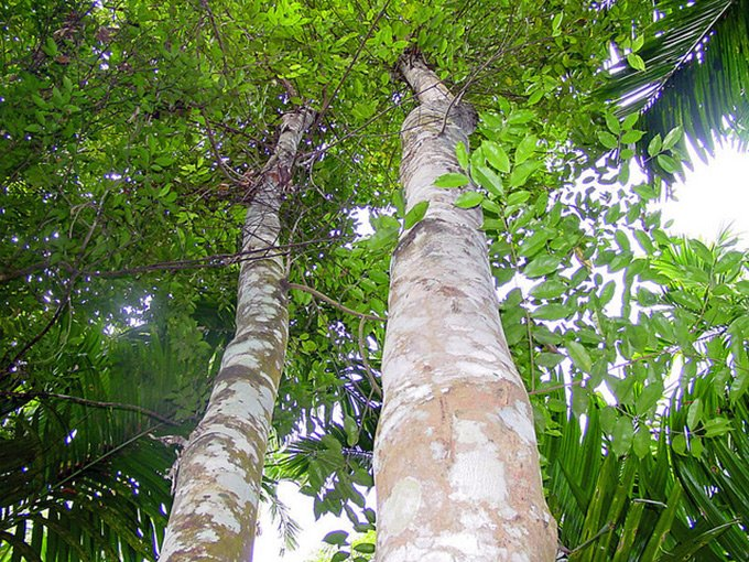 Удовое дерево фото