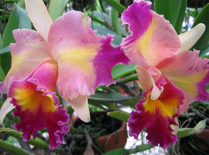 королевская орхидея фото