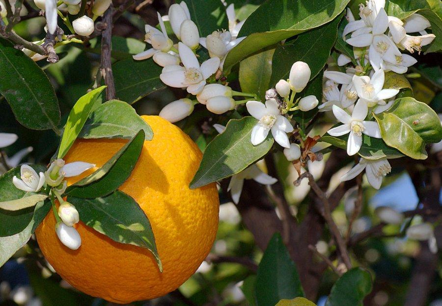 Цветение цитрусовых, фото