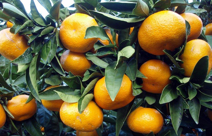 Цитрусовые, фото