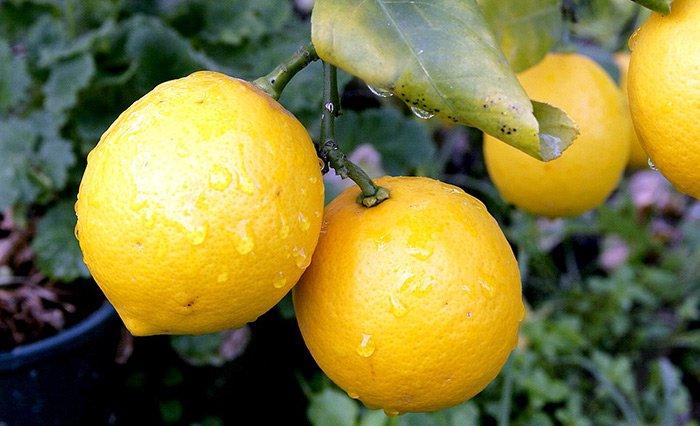 Плоды бергамота, фото