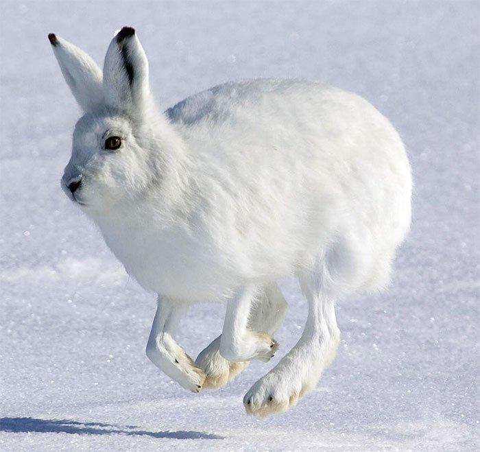 Заяц беляк и мех зайца
