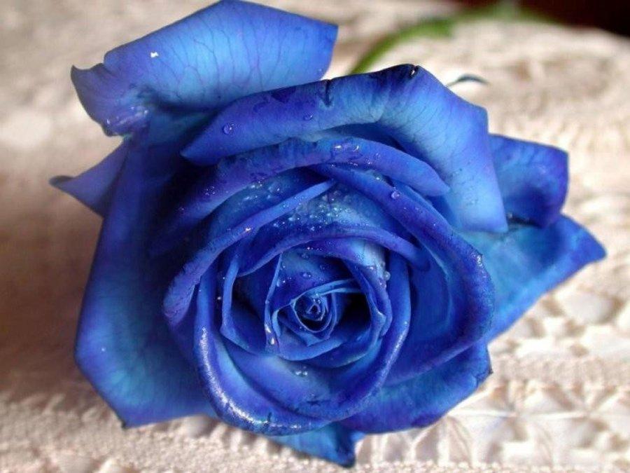 Синяя роза – синий цветок, фото
