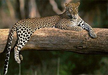 В защиту леопардов