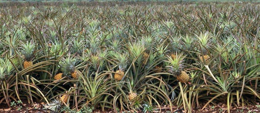 Выращивание и плантация ананасов, фото