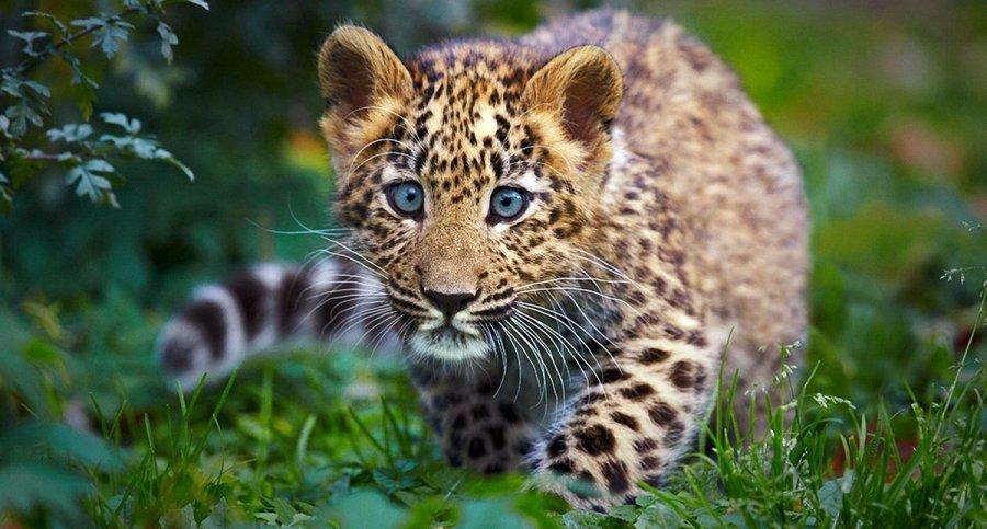 Леопард и защита животных
