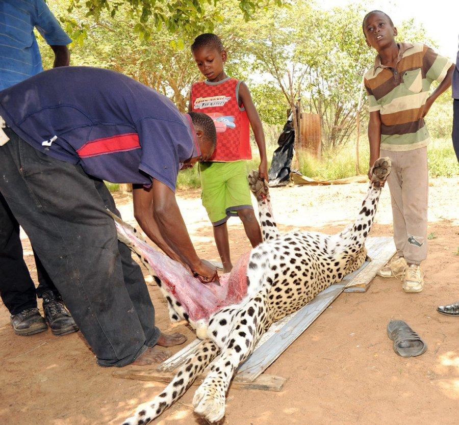 Охота на леопарда, фото