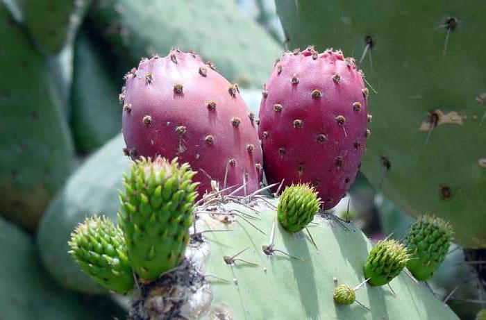 Масло опунции - масло из кактуса