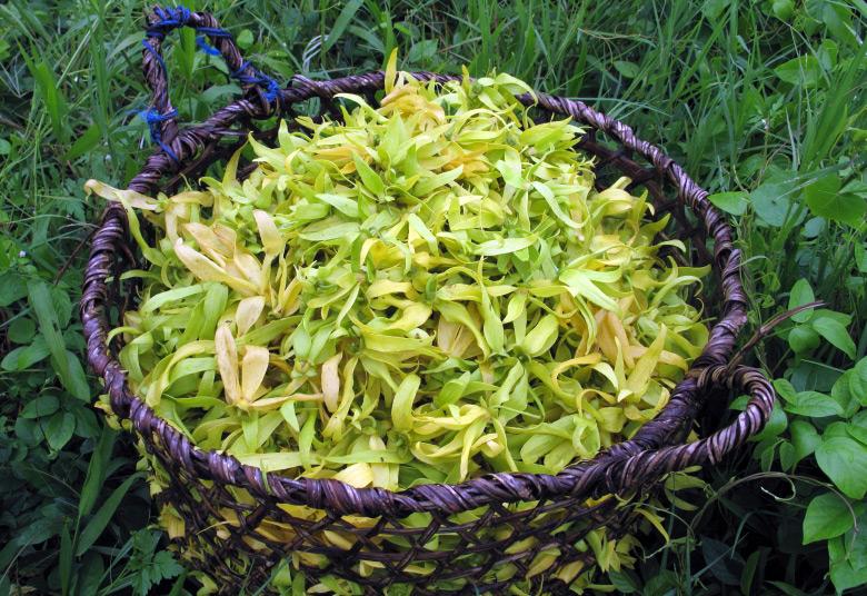 Цветок дерева кананга иланг-иланг
