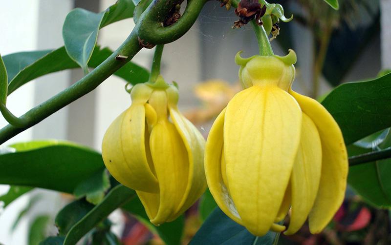 цветы иланг-иланг