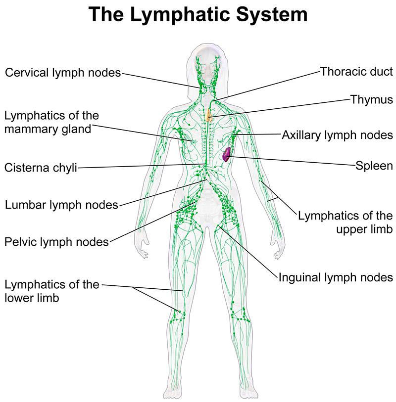 Работа лимфатической системы человека и лимфодренаж
