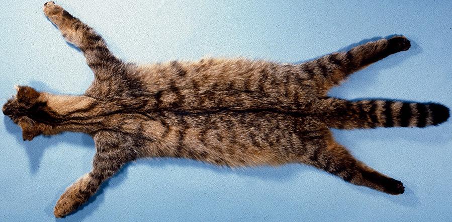 Натуральный мех кошки