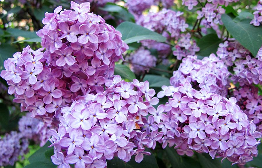 Лиловый цвет и фото