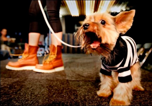 Ошейники и модная одежда для собак от Trussardi