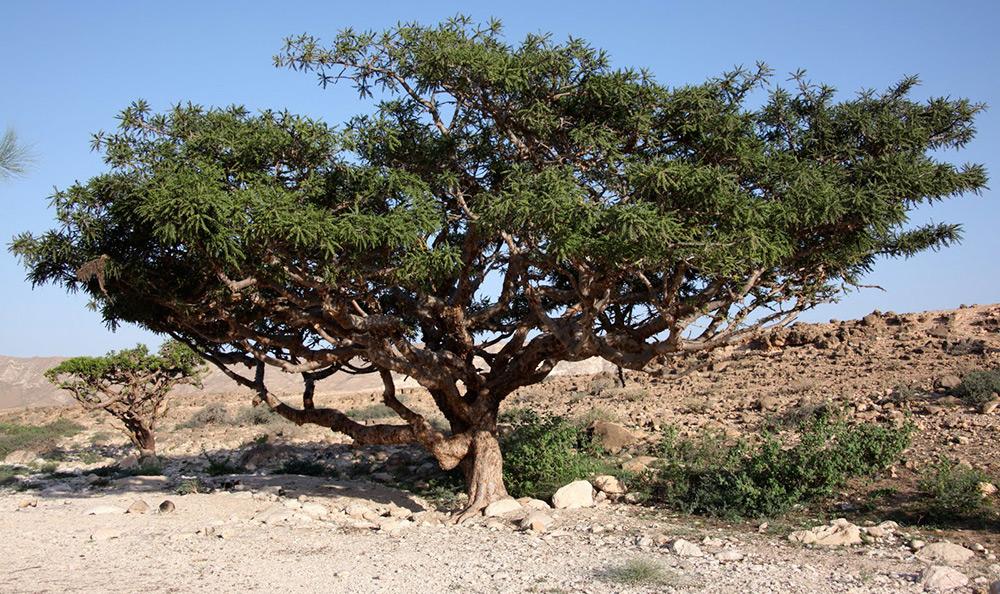 Дерево ладана