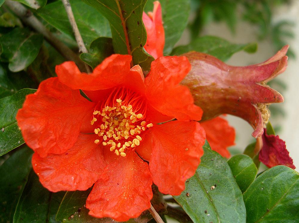 Гранат – фрукт растение