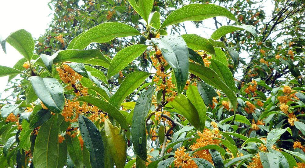 Парфюмерия с запахом османтуса – лучшие ароматы